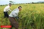 قیمت برنج هاشمی گیلان به 28 هزار تومان رسید!