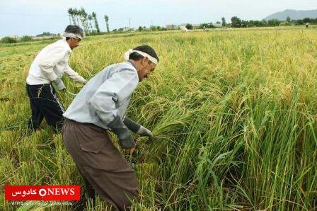 قیمت برنج هاشمی گیلان به ۲۸ هزار تومان رسید!