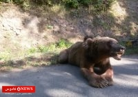 حمله حیوانی وحشی به دام اهالی روستای گیله سرای ماسال