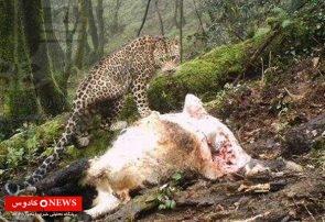 عامل حمله به حیوانات در گیله سرای ماسال پلنگ یا خرس نبوده است!