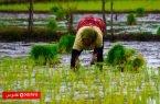 قیمت برنج هاشمی گیلان به 28 هزار تومان رسید