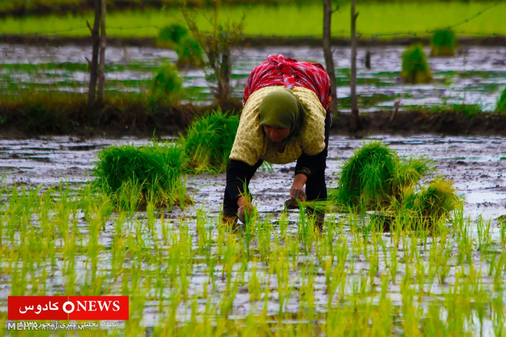 قیمت برنج هاشمی گیلان به ۲۸ هزار تومان رسید