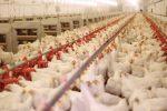 روزانه 300 تن مرغ گیلان به سایر استانها می رود!