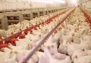 روزانه ۳۰۰ تن مرغ گیلان به سایر استانها می رود!